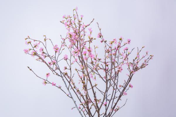 奥久慈桜06