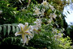 写真:美しいヤマユリが咲いています